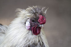 Chicken Profile Royalty Free Stock Images