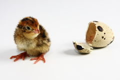 Chicken quail and egg. A new-born one hour old chicken quail and  an egg Royalty Free Stock Photography