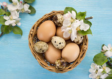 Chicken and quail eggs in the basket and spring flowers on blue wooden background Stock Photos