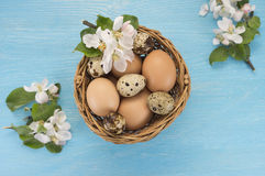 Chicken and quail eggs in the basket and spring flowers. On blue wooden background. Easter concept Royalty Free Stock Image