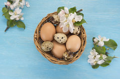 Chicken and quail eggs in the basket and spring flowers. On blue wooden background. Easter concept Stock Photography