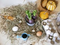 Chicken and quail eggs in packaging, pumpkins, hay, growing hyacinths, Easter concept, holiday preparation, harvest, seasonal holi. Days, village, farm royalty free stock photo