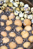 Chicken and Quail's Eggs Salt Baked Royalty Free Stock Photo