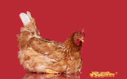 Chicken on red background, isolated object, one closeup animal Stock Image