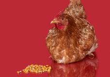 Chicken on red background,  object, one closeup animal Stock Image