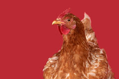 Chicken on red background,  object, one closeup animal Stock Images