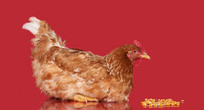 Chicken on red background side view,  object, one closeup animal Stock Image