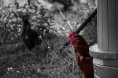 Chicken. A chicken relaxing outdoors in Finland Royalty Free Stock Photo