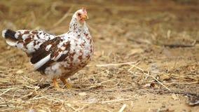 Chicken in farm stock video footage