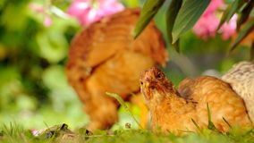 Chicken Resting on Green Grass Royalty Free Stock Images