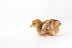 Chicken, Rhode Island Red Chick. On white background stock image