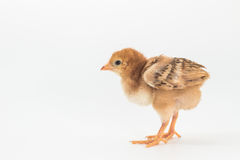 Chicken, Rhode Island Red Chick. On white background stock photography