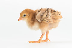 Chicken, Rhode Island Red Chick. On white background stock photos
