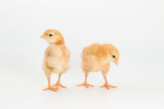 Chicken, Rhode Island Red Chick. On white background royalty free stock photo