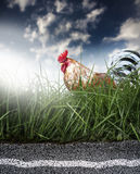 Chicken and road Stock Image