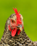 A chicken or rooster Royalty Free Stock Image