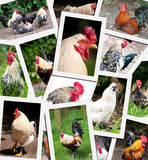 Chicken rooster collage Stock Photos