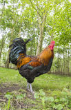 Chicken rooster on a farm Royalty Free Stock Photos