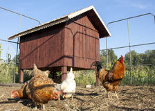Chicken and rooster in front of their hen house Royalty Free Stock Photos