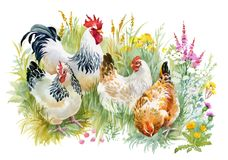 Chicken and rooster in the grass on white background. stock illustration