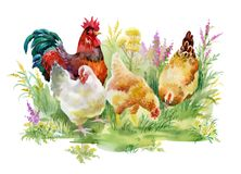 Chicken and rooster in the grass on white background. Chicken and rooster in the grass on white background Stock Images