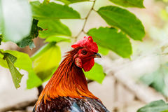 Chicken rooster head portrait closeup detail of farm poultry bir Stock Image