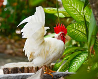 Chicken rooster Royalty Free Stock Images