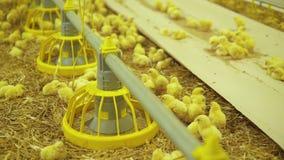 Chicken routine life in modern poultry farm. 4K