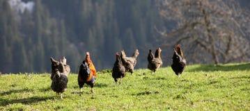 Chicken run Stock Photography
