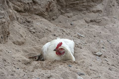Chicken sand bathing Royalty Free Stock Image