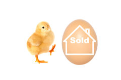 A chicken is selling its egg Stock Photo