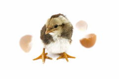Chicken in a shell on a head isolated on a white background,Chicken isolated on a white background,Little cute chicken isolated on. White Royalty Free Stock Photos