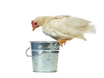 Chicken sits on bucket Royalty Free Stock Photo