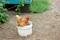 Chicken Sitting a Bucket of Water. Chicken sitting in a water bucket in a chicken coop Stock Images