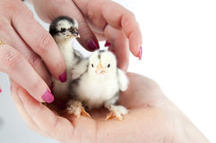 Chicken sitting in a hand.GN Stock Photography