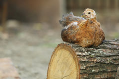 Chicken sitting on a log Royalty Free Stock Image