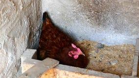 Chicken sitting to spawn, stock video