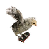 Chicken on skateboard against white background Stock Images