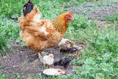 Chicken with small chickens in the garden looking for food_ royalty free stock photos