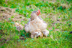 Chicken with small chicks on green grass stock photos