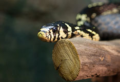 Chicken snake Stock Images