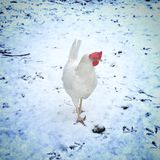 Chicken in the snow Stock Photos