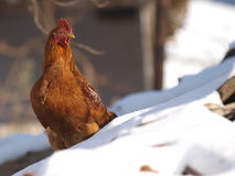 Chicken on a snowy roof Stock Photo