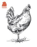 Chicken standing on one leg. Hand drawn sketch vector illustration