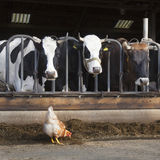 Chicken stands outside barn full of cows at dutch farm in the ne Stock Photos