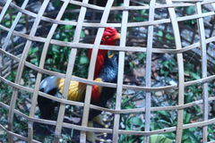 Chicken statue was kept in a locked bamboo brown Stock Images