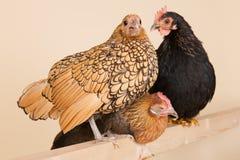 Chicken on stick Stock Photos