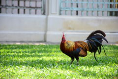 Chicken. Stroll in the garden Royalty Free Stock Photography