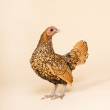 Chicken in studio on cream background Royalty Free Stock Photo