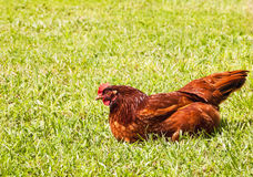 Chicken Sunning Royalty Free Stock Photo